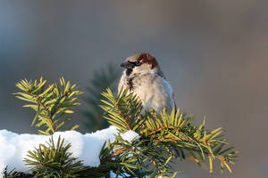 House Sparrow (Passer domesticus) by Spotting-Nature