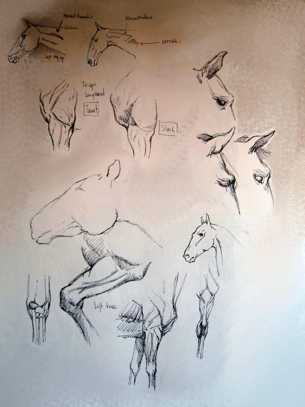 horses anatomy essay Hey i was looking up horse anatomy and decided to look at this i  i however would never claim to know everything about horses, and any good horse person would .