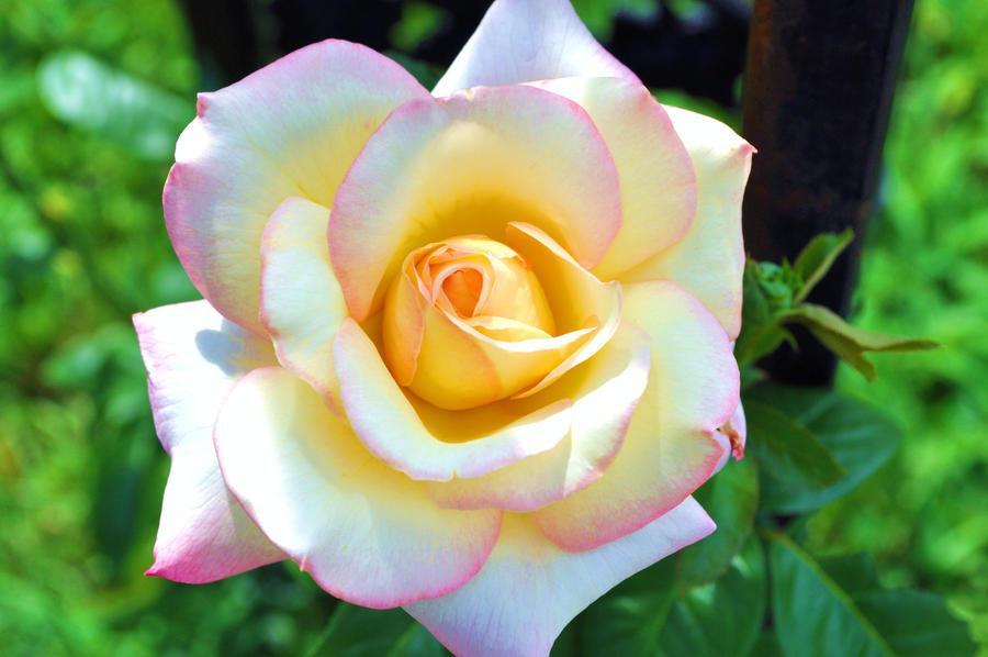 My Favorite Flower by LadyRavenhawk