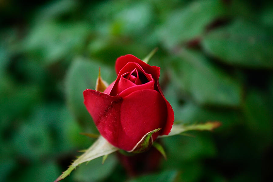 Surprise It's A Rose by jmarie1210