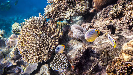Butterfly fish. Maldives.