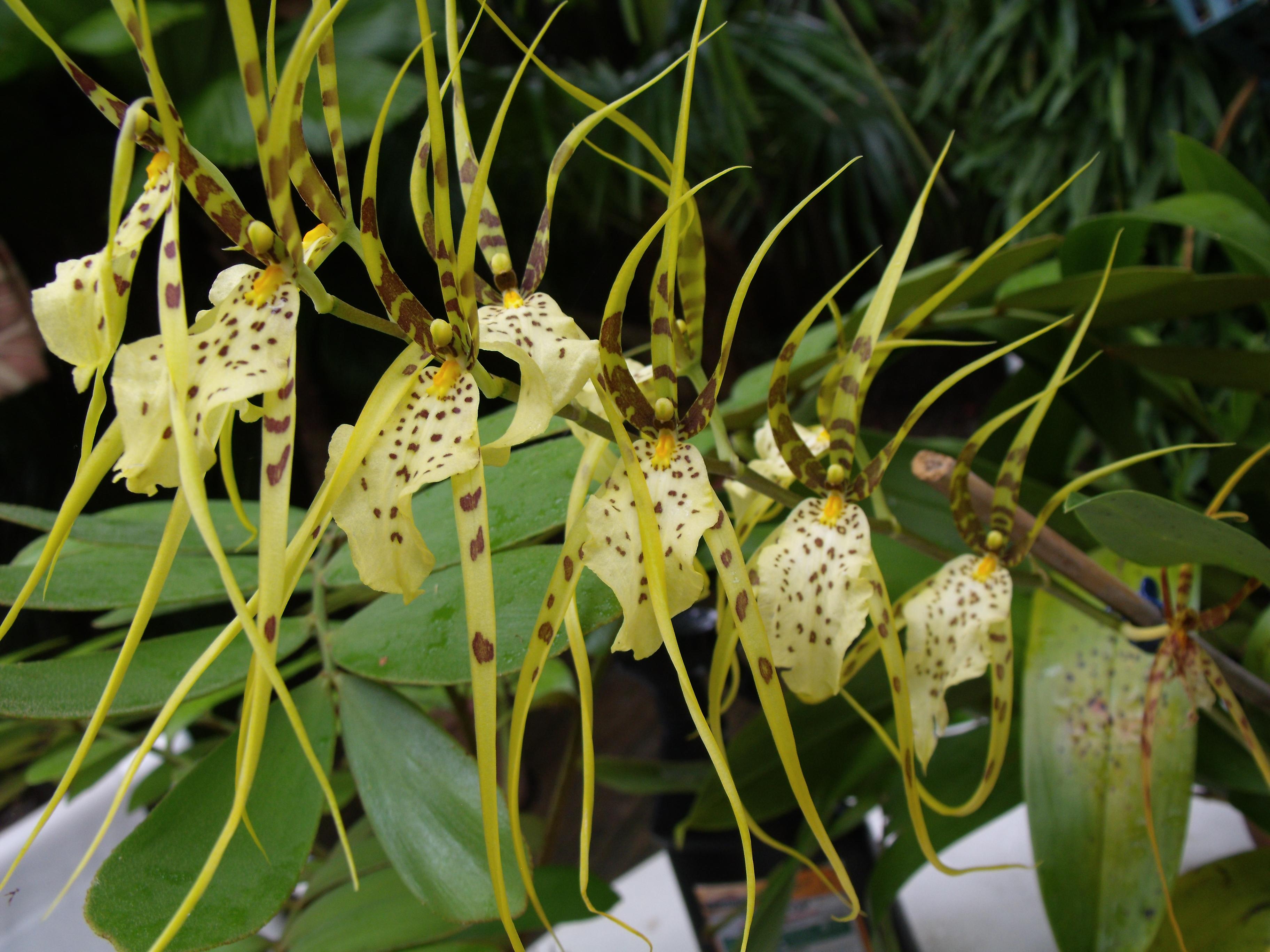 Brassia Orchid Bloom 4 By Vi114n On DeviantArt
