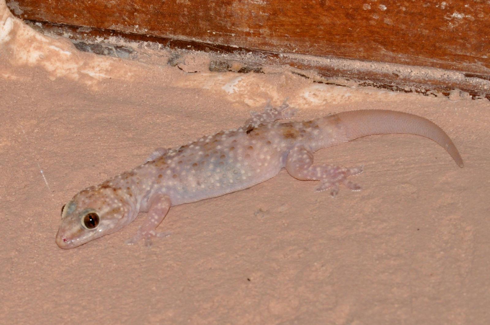 tropical house gecko..(wood slave)poolbandit on deviantart