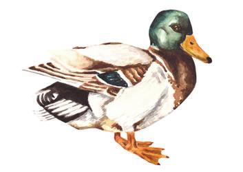 Watercolor Mallard Duck by erika-lancaster85