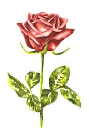 Watercolor Rose by erika-lancaster85