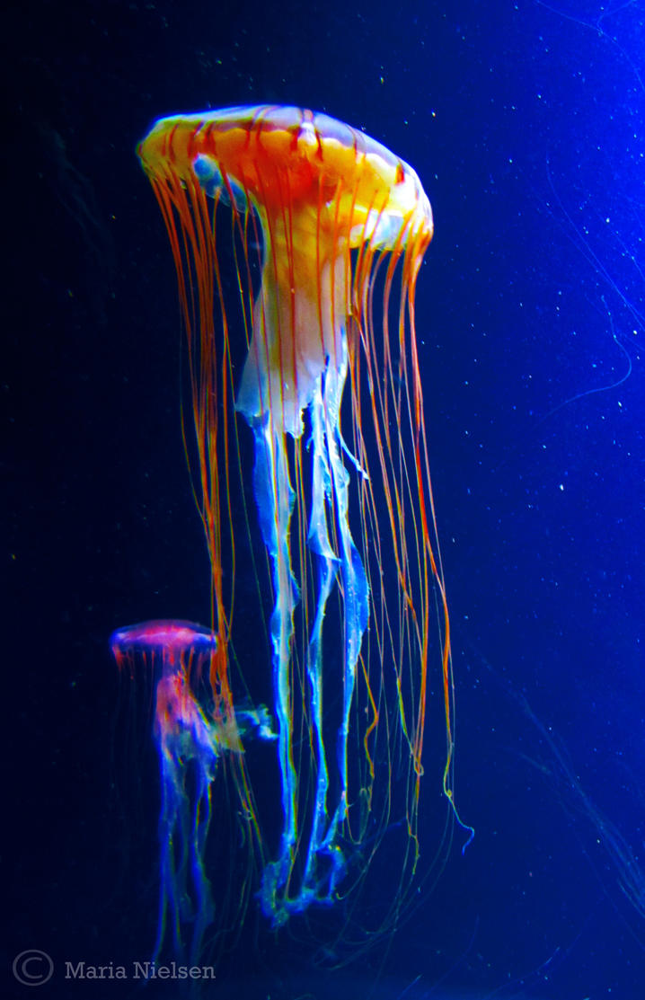 Jellyfish 4 by Moonbird9