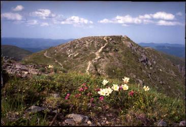 Rock-lilies and rosebaies