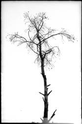 still a tree