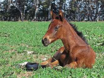 foal stock by Romydb