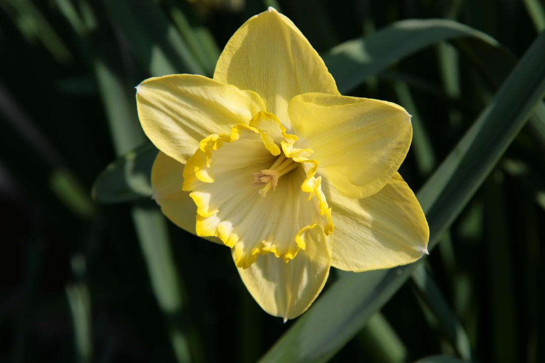 i like the flowers i like the daffodils by wolfieblob on deviantart. Black Bedroom Furniture Sets. Home Design Ideas