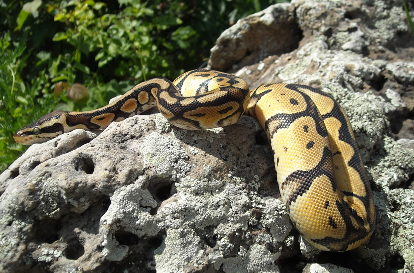 Ball Python: Allegro by zilowar