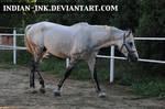 Dappled Grey Stallion 2