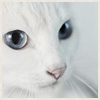 White cat by Wildpelt