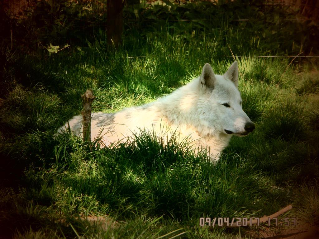 White wolf - Loup blanc by AuroreMaudite09