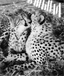 Cheetahs : Affection by medraught