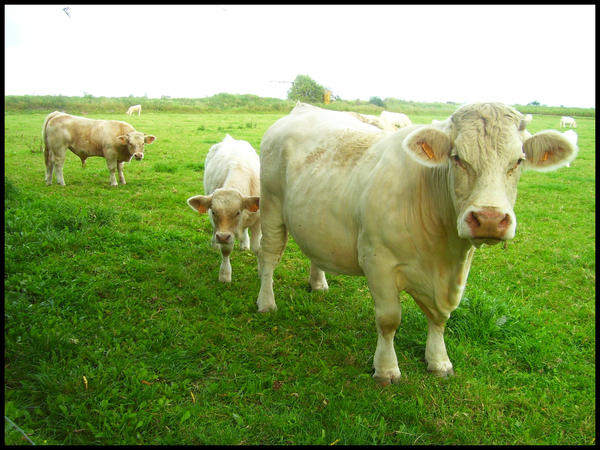 http://fc07.deviantart.net/fs24/i/2008/028/d/b/Les_vaches__by_become_photograph.jpg