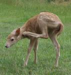 Deer Fawn 007 - Stock