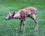 Deer Fawn 022 - Stock