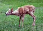 Deer Fawn 023 - Stock