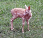 Deer Fawn 028 - Stock