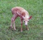 Deer Fawn 030 - Stock