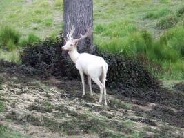 Deer 021 - Stock by EasternBrumbyStock