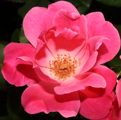 """wild rose hispanic single men Roses quotes quotes tagged as  one that a little sheep can wipe out in a single bite one morning, just like that,  """"love is like the wild rose-briar ."""