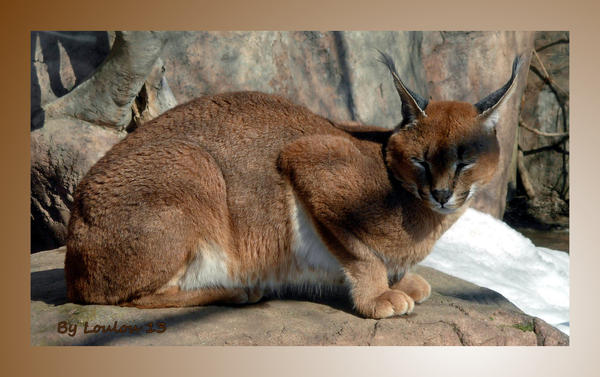 caracal Lynx by Loulou13