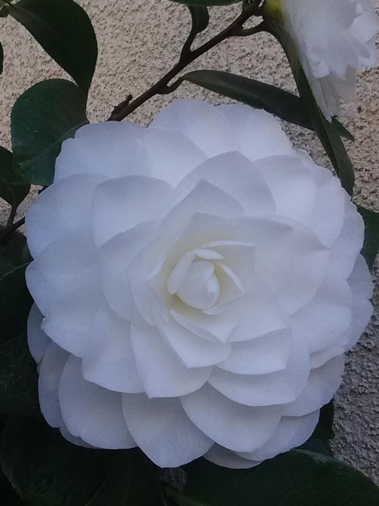 White rose #7 (Fully bloomed) by Kagome1234545