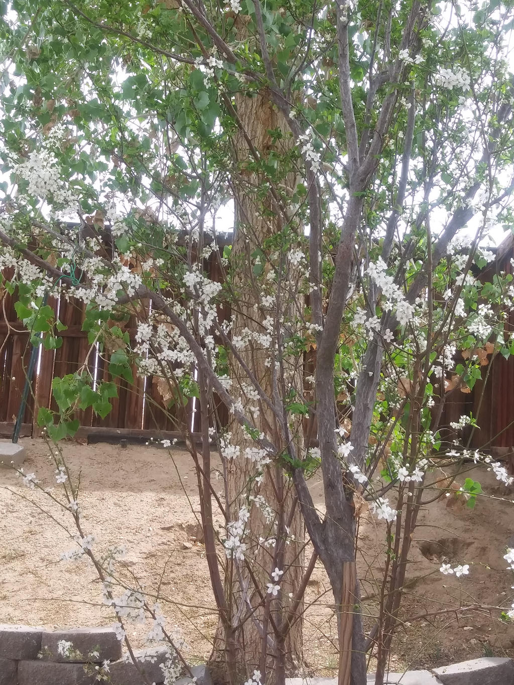 White blossoms by Kagome1234545