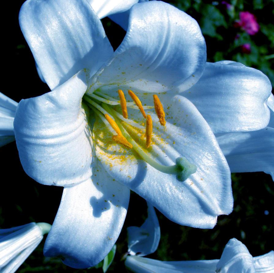 Blue lily by katesmile on deviantart blue lily by katesmile izmirmasajfo