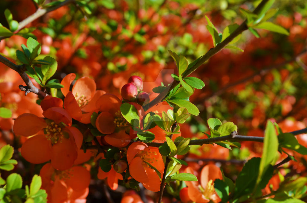Flowers by Redrose-angel