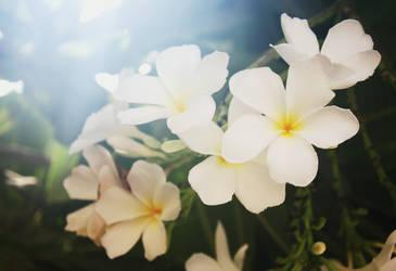 Plumeria Blossoms 01 by Loy-Pinheiro