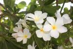 Plumeria Blossoms 02 by Loy-Pinheiro