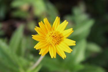 Wildflower 03 by Loy-Pinheiro