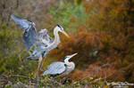 Great Blue Herons by barryowens