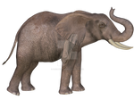 Elephant 01 Stock Commercial OK