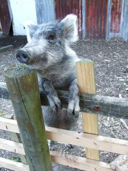 Animal Stock - Pig 1