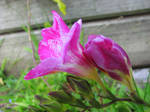 Flower Stock - Freesia 1