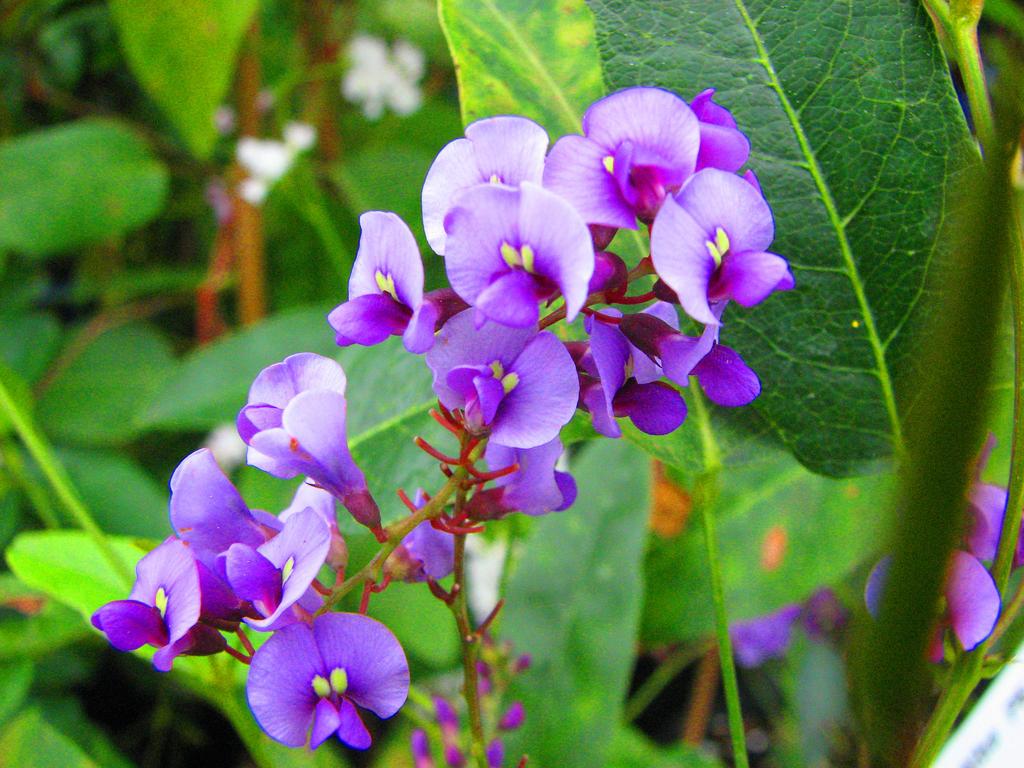 Flower Stock Purple Pea Vine by Spyderwitch on DeviantArt