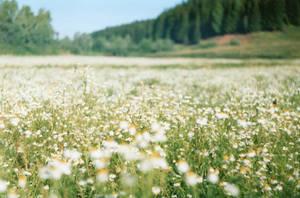 field of camomiles by malyshkamju