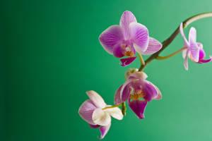 Flower III by Noxire