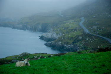ireland I - sheep
