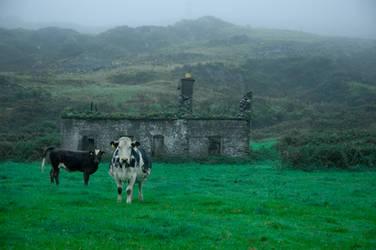 ireland II - cows