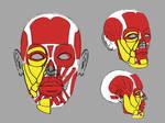 Facial Anatomy Study