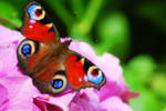 butterfly flower by WolkenWelten