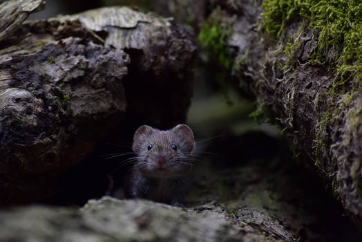 forest mouse