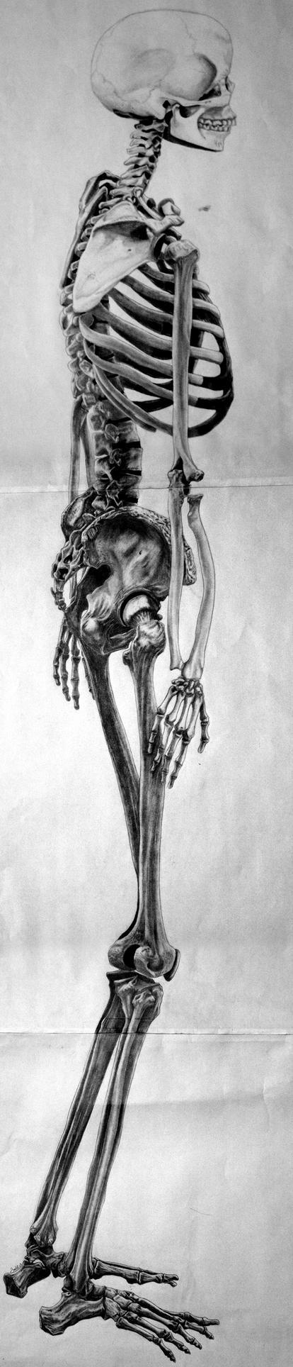 Figure Drawing Skeleton by dannonlee