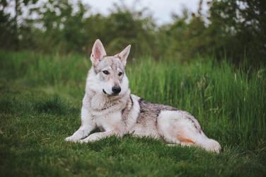 Wolfdog puppy