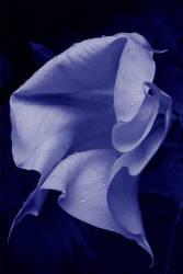 Datura bleues